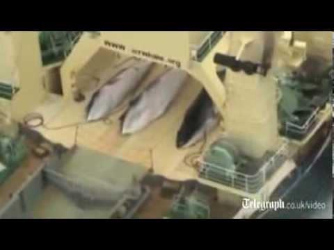Cảnh đánh bắt mổ xẻ cá voi tàn nhẫn