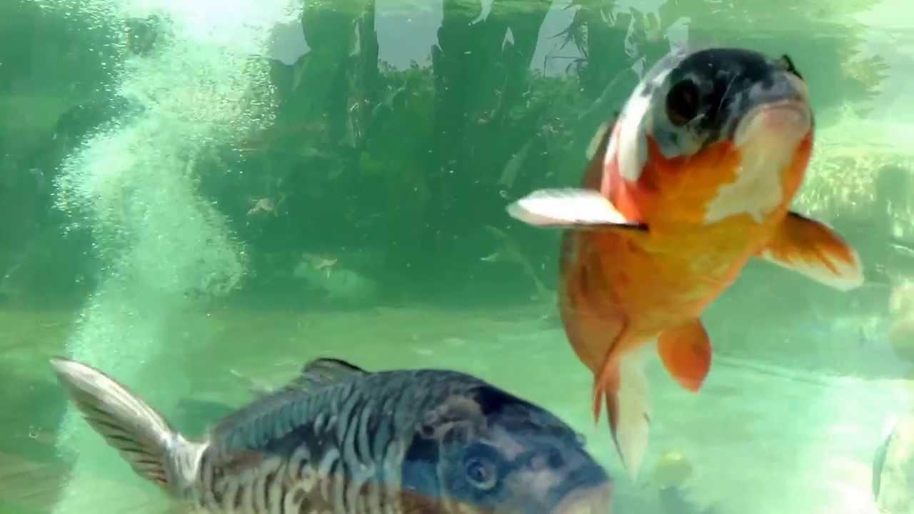 Estanque de peces koi video youtube for Estanques para peces koi