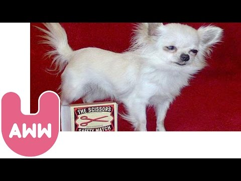 World's Smallest Dog, Meet Danka, who in 2004 was named the world's smallest dog. Why don't you come and join us on Facebook and Twitter to stay up to date with our videos and oth...
