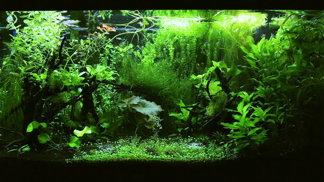 HD TV Aquarium - Tetra Jungle 1080p - YouTube