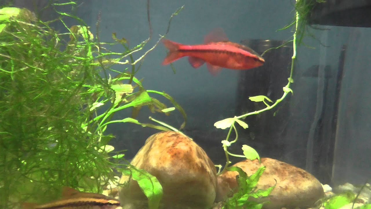 My cherry barbs youtube for Cherry barb fish