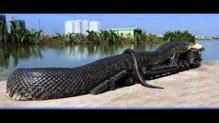 The World Biggest Snake Has Been Found In SAAD Karaj Iran