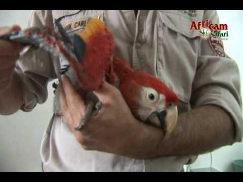 Africam Safari - Programa de reproducción de guacamayas