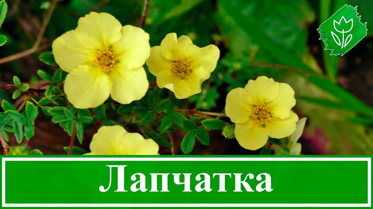 Лапчатка кустарниковая уход и выращивание полезные свойства 1