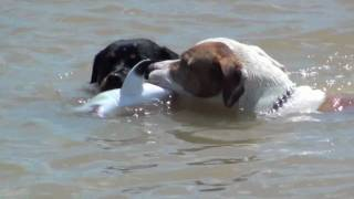 PIT BULL KILLS SHARK!!! NEW!!!