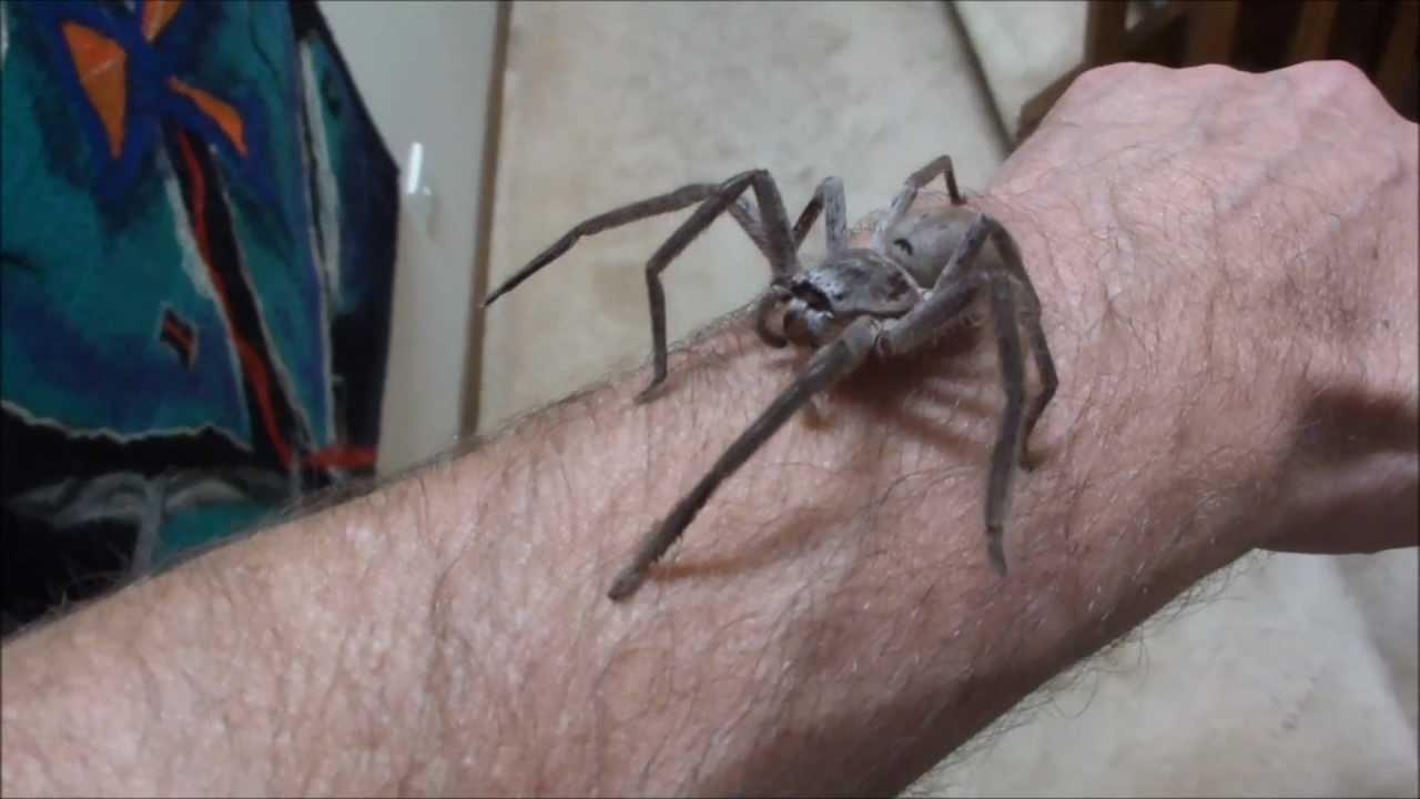 Giant house spider bite