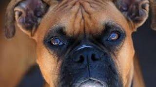 Perro Raza Boxer