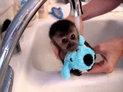 baby monkey nala gets a bath,
