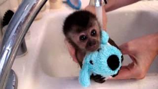 Бебе – маймунка го къпят!!! Уникално!!!