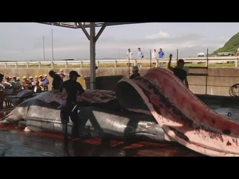 Japanese whaling town butchers 30ft long whale in front of school children