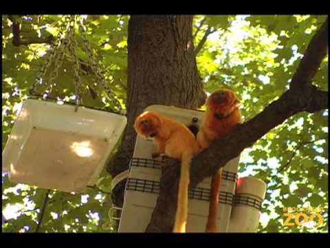 Golden Lion Tamarins in the Trees at Brookfield Zoo