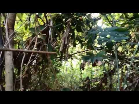 Tiếng Chim Hót Trong Bụi Mận Gai (phiên bản gốc) - Thornbird