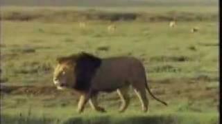 Lions Fight Pelea De Leones