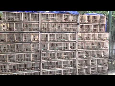 Mua bán chim Họa Mi  - Web banchim.vn - Chuyên mua bán chim cảnh