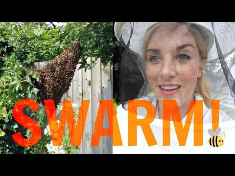 How to capture a SWARM of BEES!   Beekeeping with Maddie #13