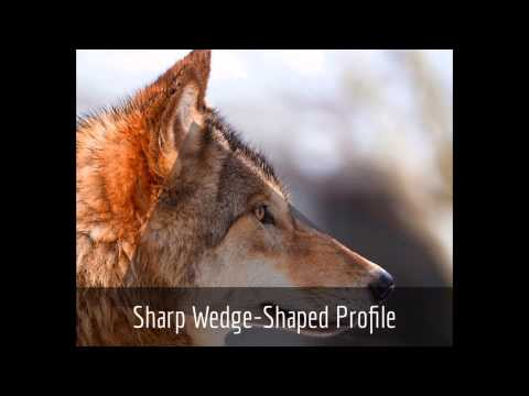 Wolf & Dog Identification: The Red Riding Hood Method