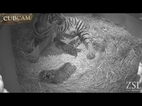 Cute cubs: Rare Sumatran tigers born in London Zoo
