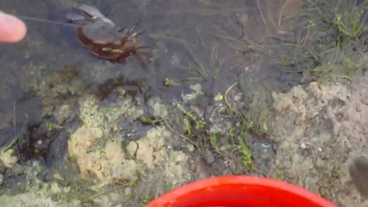 Walking Catfish On Land - photo#35