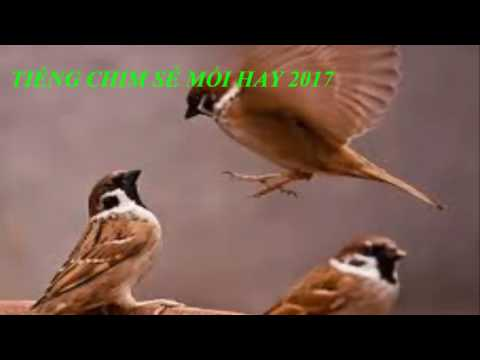 Tiếng chim mồi - Chim sẻ mồi hay 2017 \