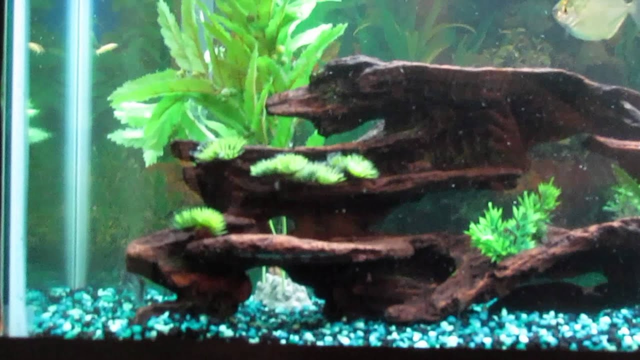 Feeding Live Rosy Minnows (Knife Fish, Gar, Arowana, and Bichir ...