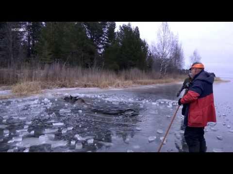 Луѓе во херојска мисија: Да го спасат лосот од замрзнатото езеро