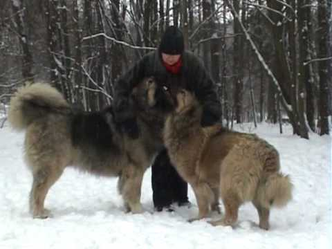 Caucasian Shepherd Russian Prison Dogs Images & Pictures - Becuo