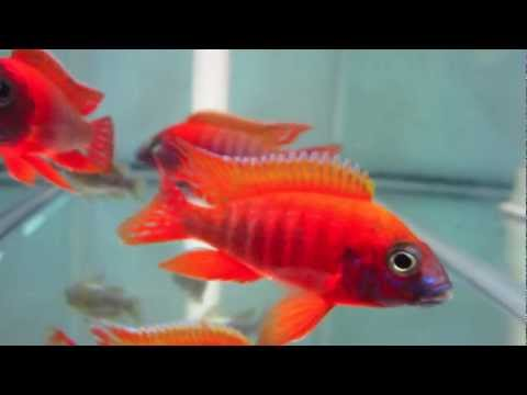 Aulonocara Rubescens Ruby Red Peacock Cichlid
