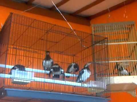 burung jalak suren jawa remaja gacor ngerol suara hutan
