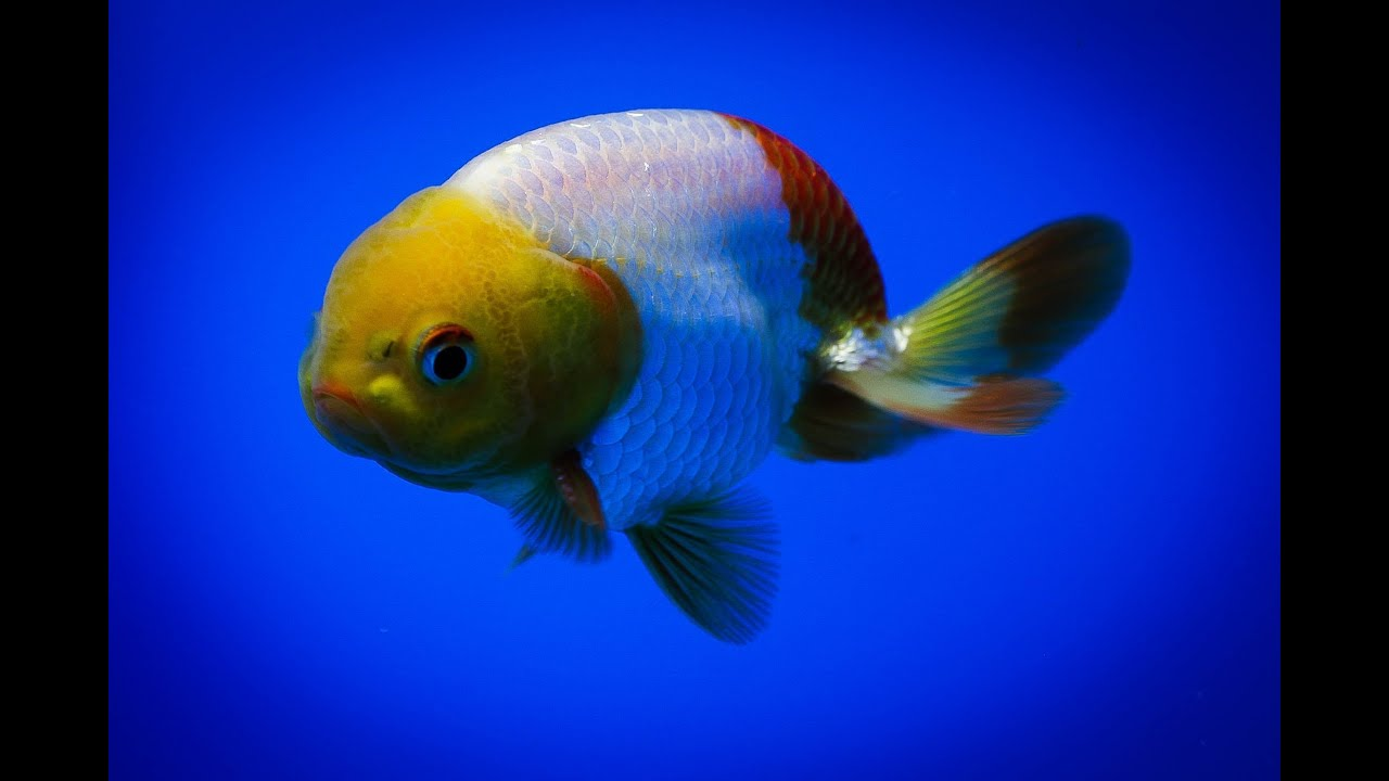 Sold ranchu goldfish for sale fb245 youtube for Gold fish for sale