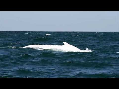A Very Rare Whale Returns in Australia