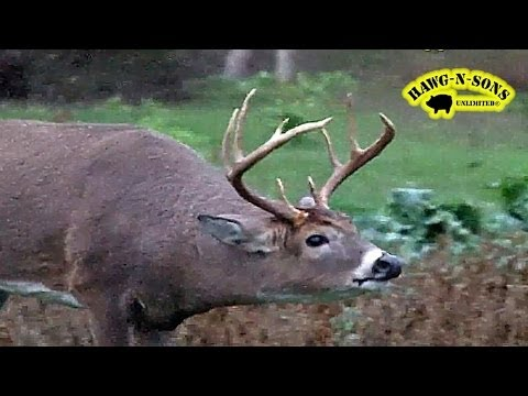 Grunting Whitetail Buck Charges  -  Rutting Deer Hunting Rut