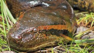 In Search Of The Giant Green Anaconda (Eunectes Murinus