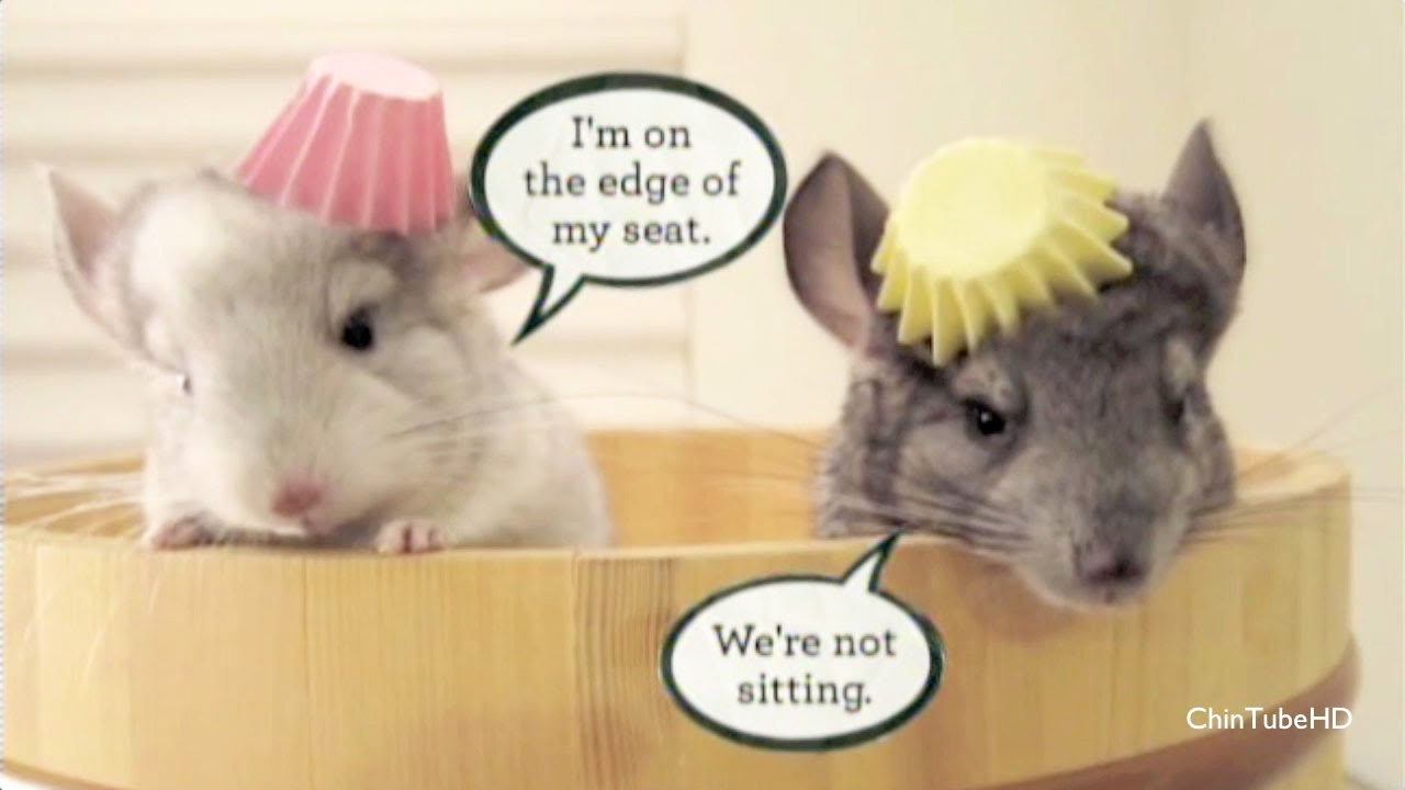 Funny chinchillas on national geographic youtube