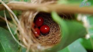 Tổ chim cuốn lá và những quả trứng màu đỏ
