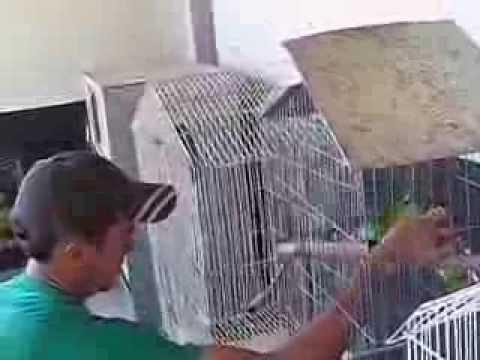 Fazenda Haras Claro - Papagaio Verdadeiro