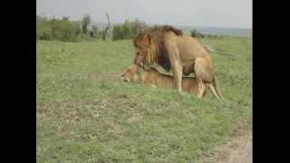 Pareja De Leones Apareandose Masai Mara