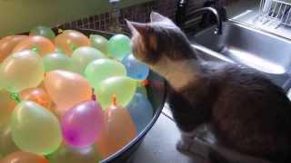 Gato explotando globos de agua