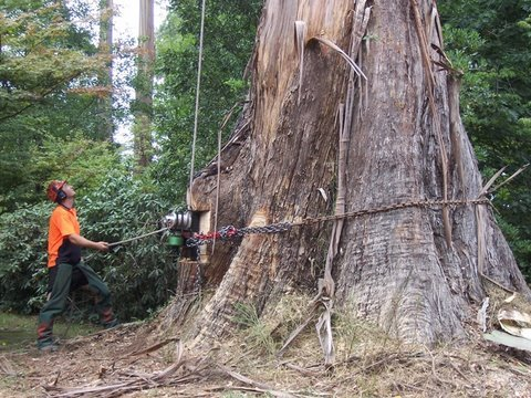 Big Tree Cutting and tree climbing by Ace Tree Management