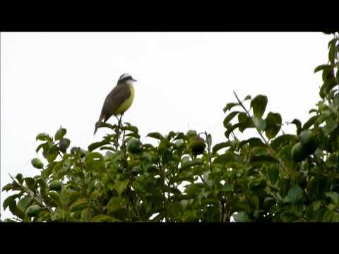 Papagaio verdadeiro na natureza