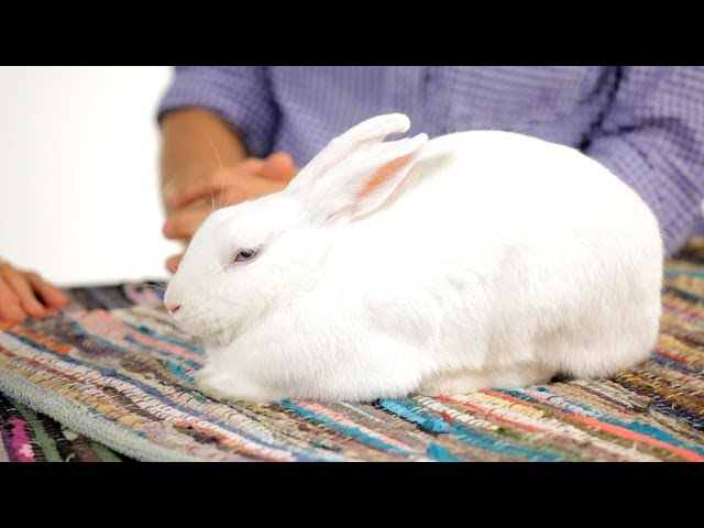 Can I Walk My Rabbit on a Leash? | Pet Rabbits