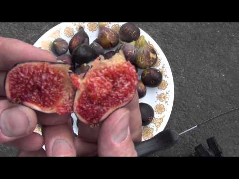 Fig Harvest 2012