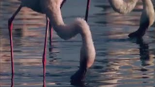 Flamingos feeding on Lake Bogoria