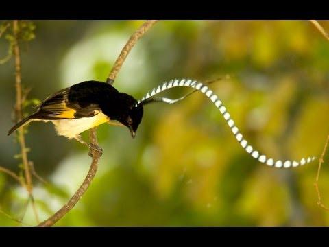King-of-Saxony Bird-of-Paradise,
