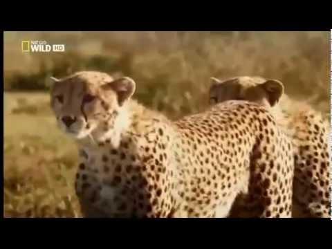 Guepardos caçando Gnus