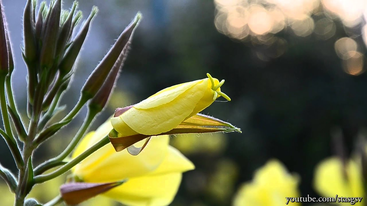 Желтый цветок цветет ночью