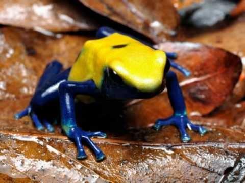 Os mais incríveis, coloridos e venenosos sapos. Dendrobatídeos. Poison frogs!