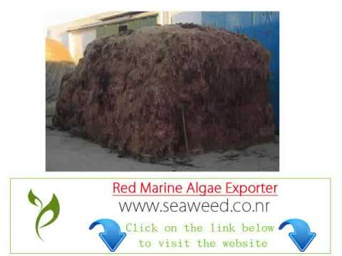 Algeria red seaweed algae importer Exporter wholesale suppliers