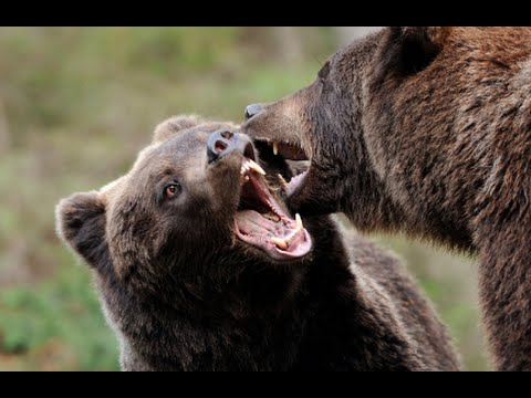 How To Defend Yourself From a Bear Attack