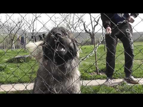 Qeni i Sharrit