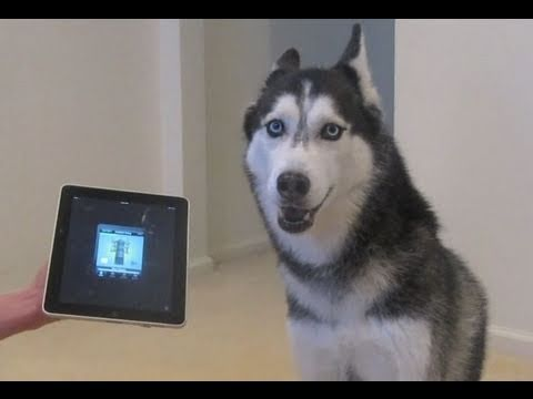 Husky Dog Sings with iPAD - Better than Bieber! (now on iTunes!), Get LaDiDa: http://bit.ly/get_ladida Mishka on iTunes: http://itunes.apple.com/us/album/mishkas-song/id395125406?i=395125410&amp;ign-mpt=uo%3D4 More LaDiDa Vids:...